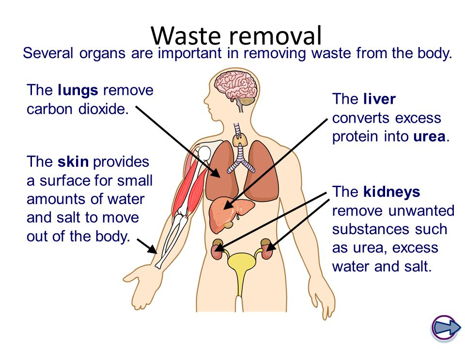 Waste removal The lungs remove carbon dioxide. The liver converts excess protein into urea.