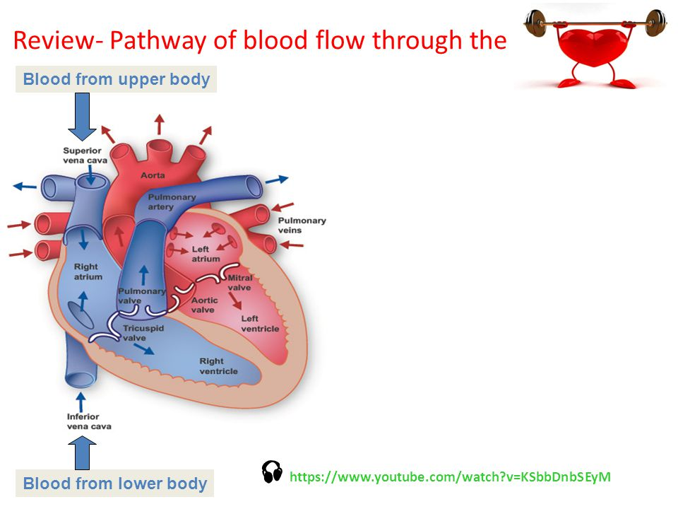 Review Pathway Of Blood Flow Through The Deoxygenated Blood From