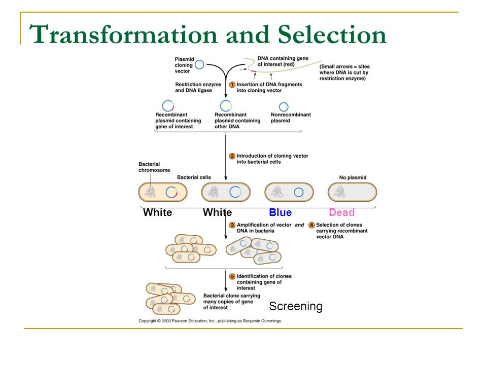 8 Transformation And Selection Screening White Blue Dead