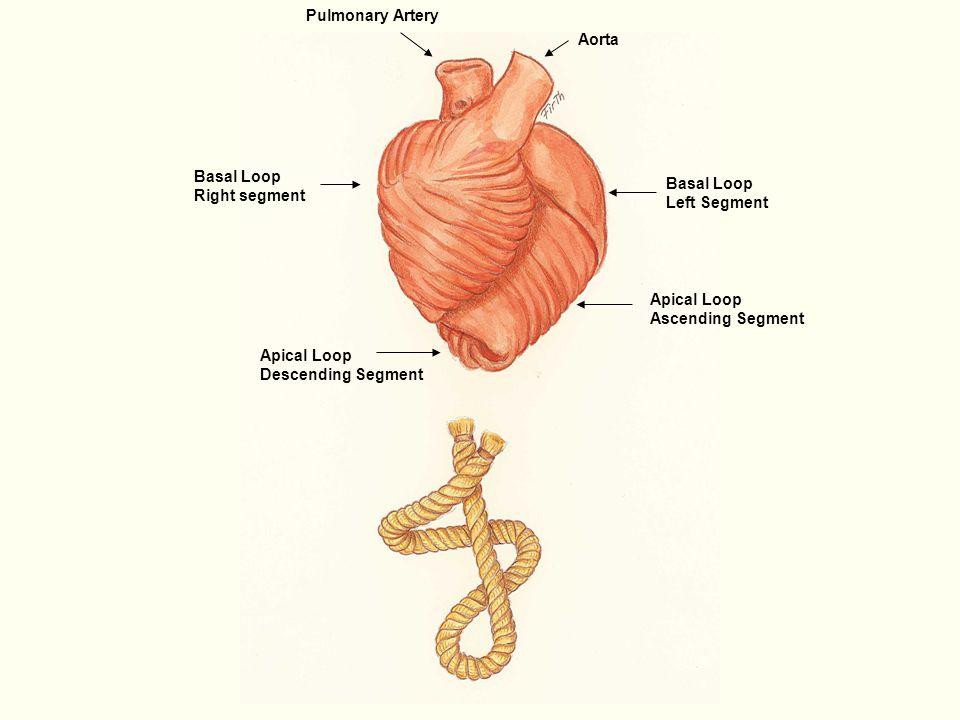 Aorta Pulmonary Artery Basal Loop Right segment Basal Loop Left ...