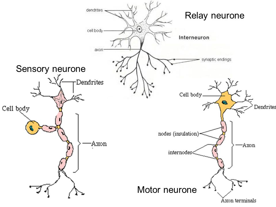 65 nerves hormones and homeostasis assessment statements state 12 sensory neurone relay neurone motor neurone ccuart Image collections