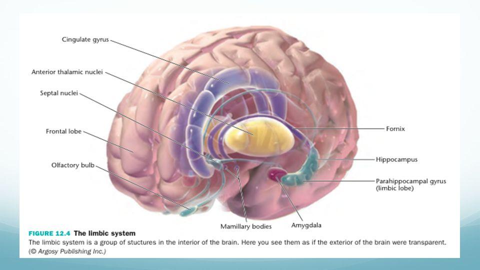 Limbic System Amydala Hippocampus Ppt Video Online Download