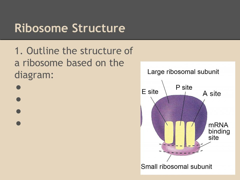 Ribosome Structure 1 Outline The Structure Of A Ribosome Based On