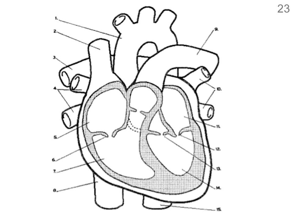 Intro To The Circulatory System