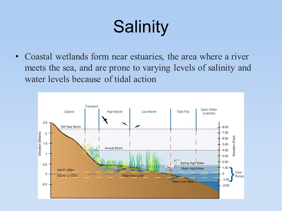 5 salinity coastal wetlands form near estuaries, the area where a river  meets the sea, and are prone to varying levels of salinity and water levels  because