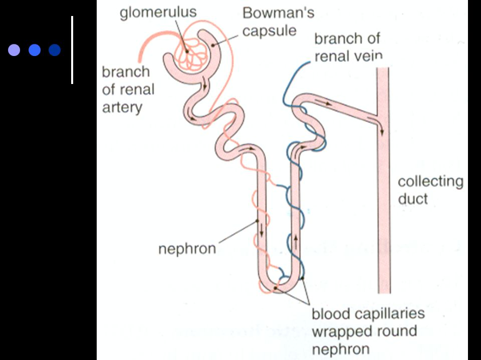 Excretion waste products of body functions are removed by the 16 activity complete the diagram handed out on the structure of the nephron ccuart Gallery