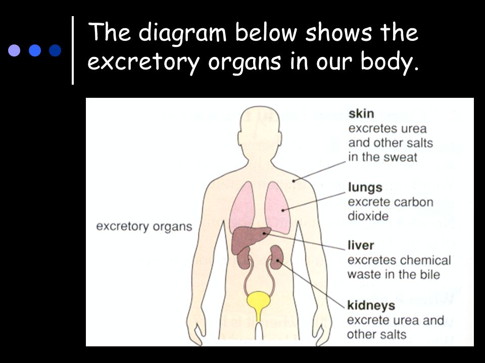 Excretion waste products of body functions are removed by the 4 the diagram below shows the excretory organs in our body ccuart Choice Image