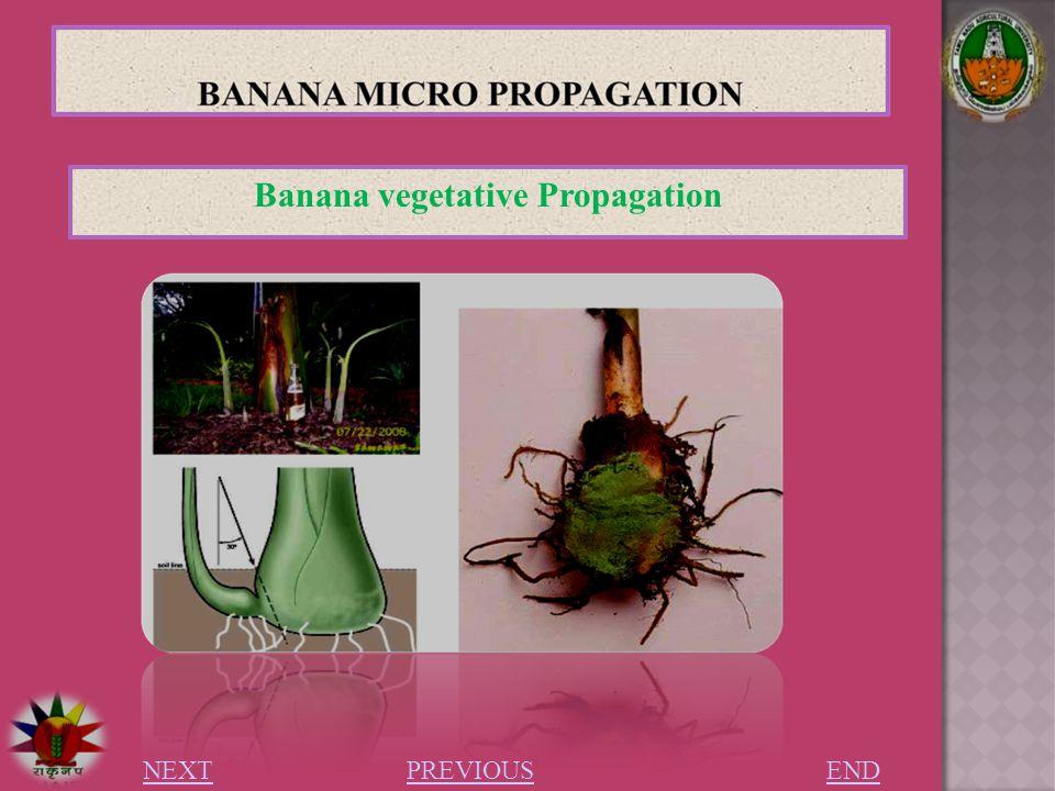 Banana asexual reproduction regeneration