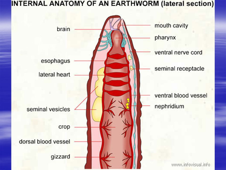 Before we get started  Anterior: head-end  Posterior: tail-end ...