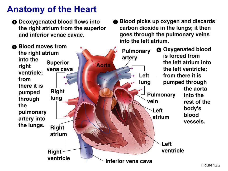 CONGENITAL HEART DISEASE.. Anatomy of the Heart Figure ppt download