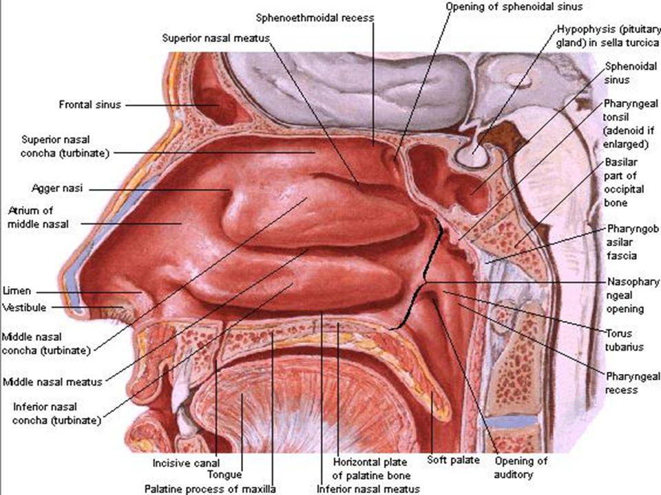 Nasal Cavity Paranasal Sinuses Ppt Video Online Download