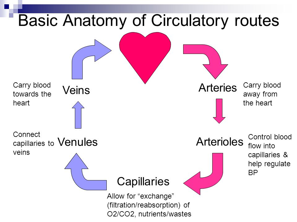Cardiovascular system - Blood Vessels Anatomy Chap ppt download