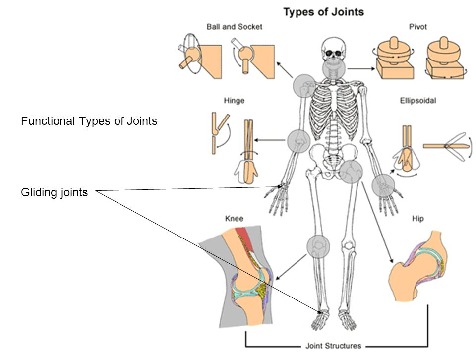 Bone Growth And Joints Bone Growth And Remodeling Two Three Types