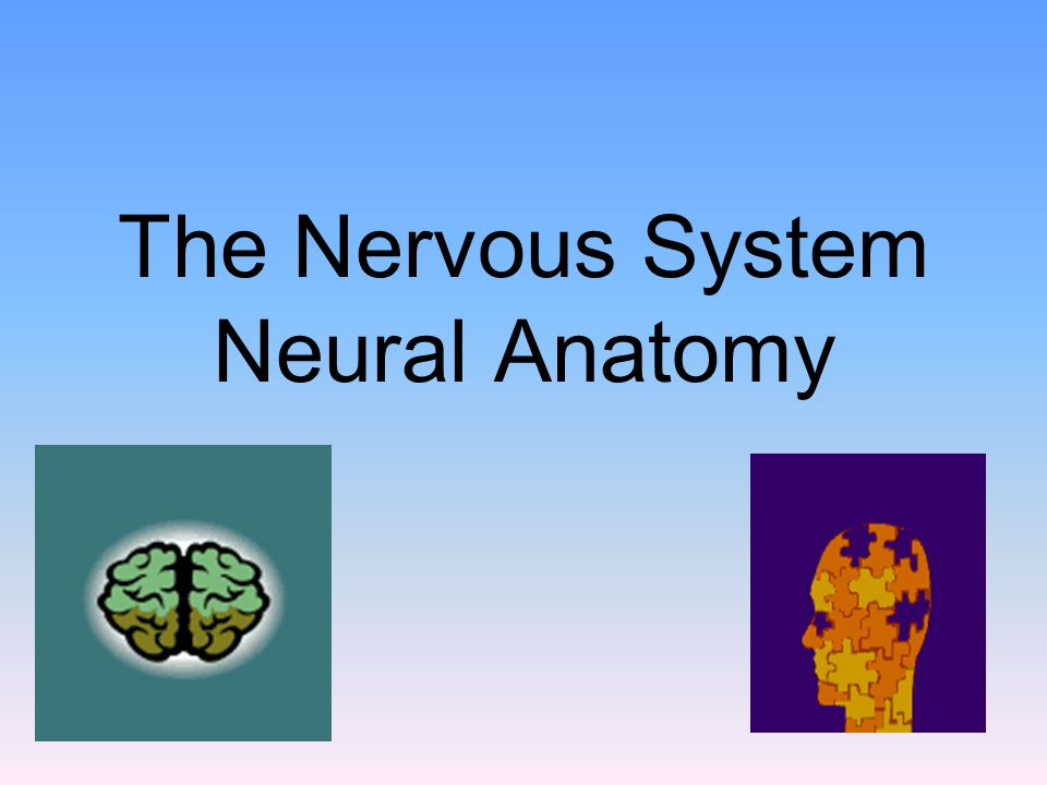 The Nervous System Neural Anatomy