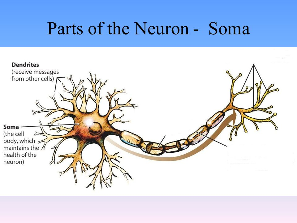 Parts of the Neuron - Soma
