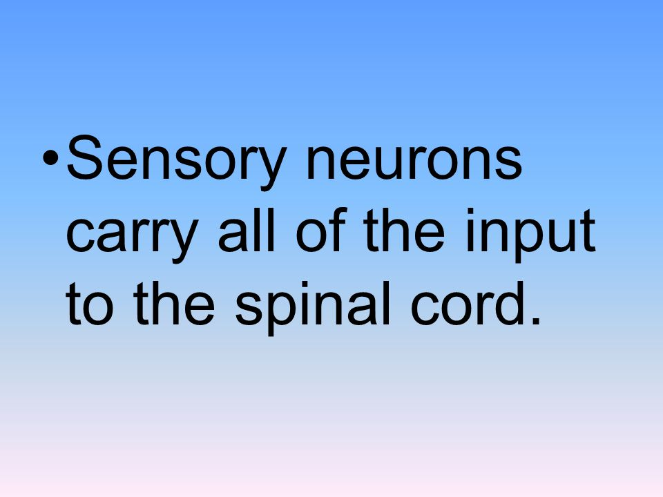 Sensory neurons carry all of the input to the spinal cord.