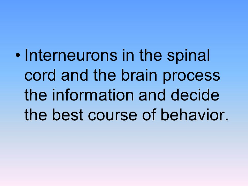 Interneurons in the spinal cord and the brain process the information and decide the best course of behavior.
