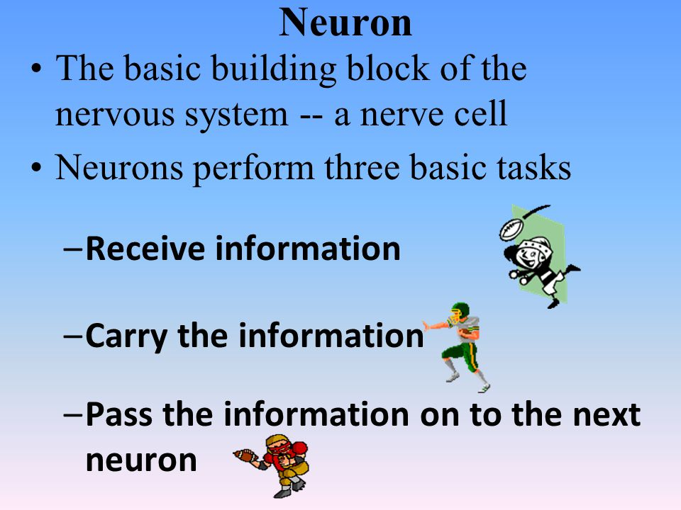 Neuron The basic building block of the nervous system -- a nerve cell Neurons perform three basic tasks –Receive information –Carry the information –Pass the information on to the next neuron
