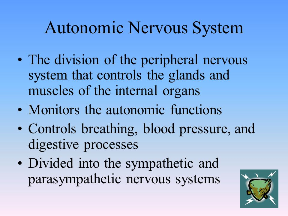 Autonomic Nervous System The division of the peripheral nervous system that controls the glands and muscles of the internal organs Monitors the autonomic functions Controls breathing, blood pressure, and digestive processes Divided into the sympathetic and parasympathetic nervous systems