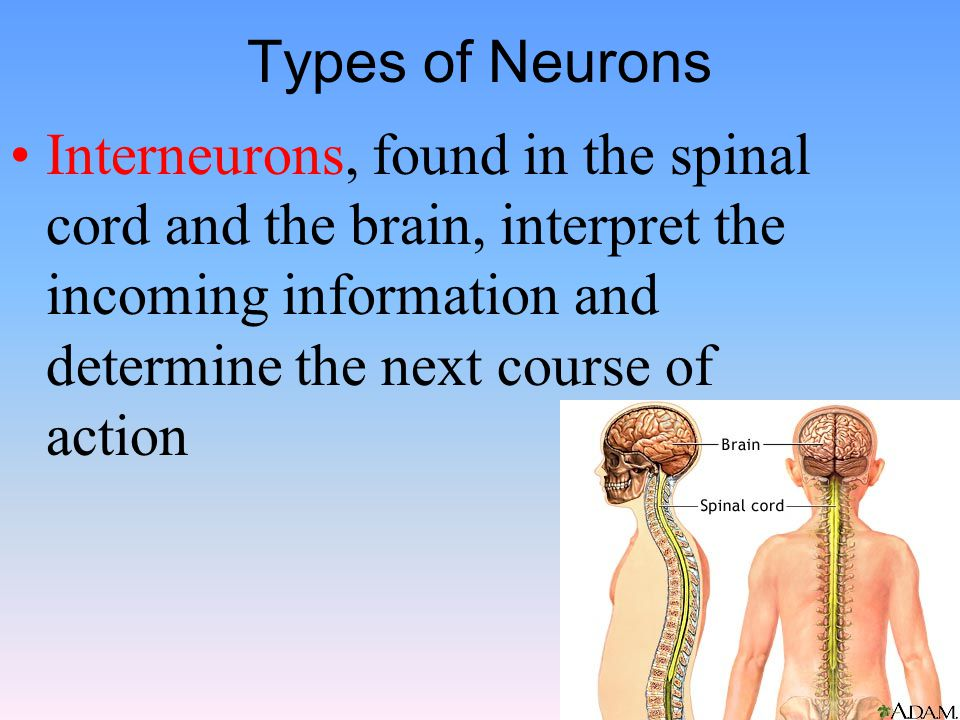 Types of Neurons Interneurons, found in the spinal cord and the brain, interpret the incoming information and determine the next course of action