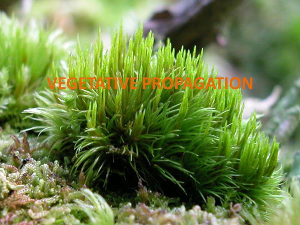 Hornwort asexual reproduction regeneration