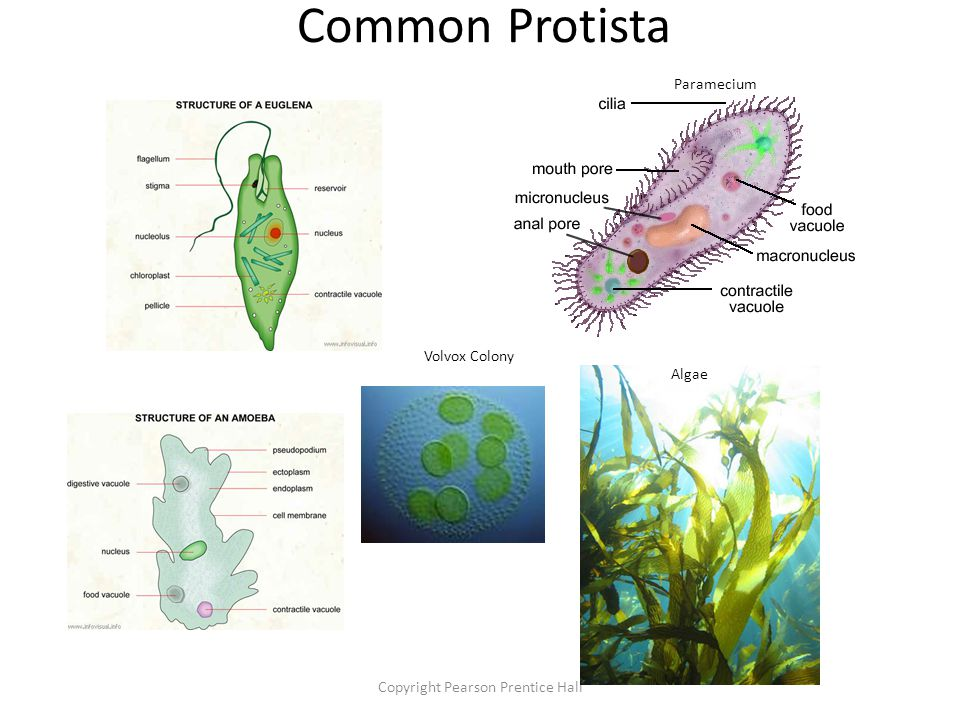 Copyright Pearson Prentice Hall Common Protista Paramecium Algae Volvox Colony