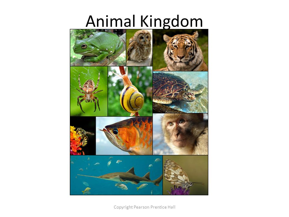 Animal Kingdom Copyright Pearson Prentice Hall