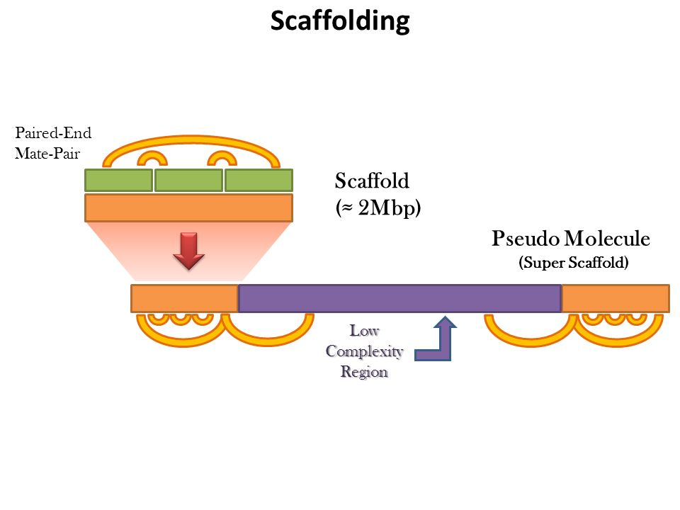 Scaffold (≈ 2Mbp) Paired-End Mate-Pair LowComplexityRegion Pseudo Molecule (Super Scaffold) Scaffolding