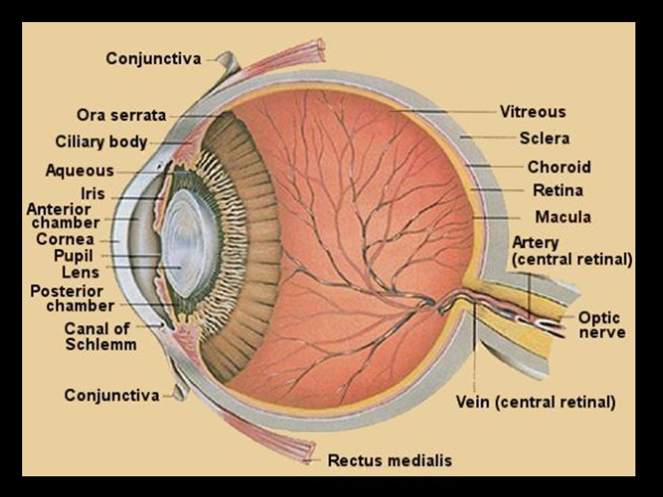 Anatomy Of The Eye Lecture 1 Anatomy Of The Eye 1 The Conjunctiva
