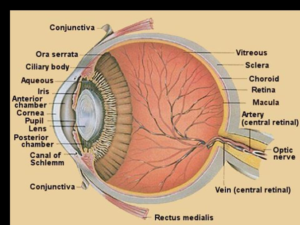 Anatomy of the Eye Lecture 1 Anatomy of the Eye 1. *The conjunctiva ...