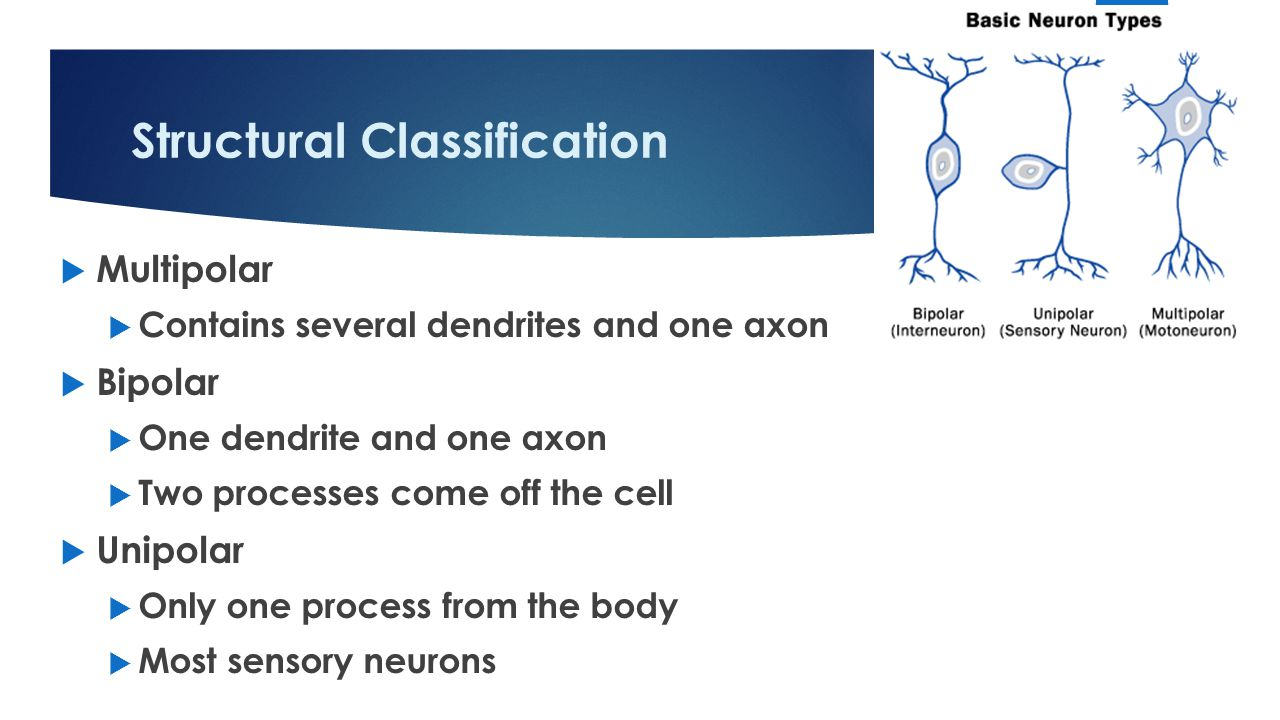 Structural Classification  Multipolar  Contains several dendrites and one axon  Bipolar  One dendrite and one axon  Two processes come off the cell  Unipolar  Only one process from the body  Most sensory neurons 12