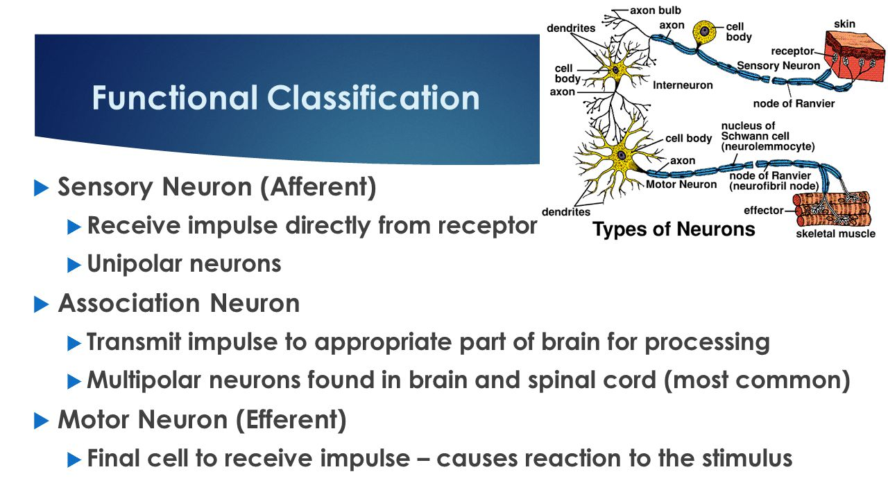 Functional Classification  Sensory Neuron (Afferent)  Receive impulse directly from receptor  Unipolar neurons  Association Neuron  Transmit impulse to appropriate part of brain for processing  Multipolar neurons found in brain and spinal cord (most common)  Motor Neuron (Efferent)  Final cell to receive impulse – causes reaction to the stimulus 13