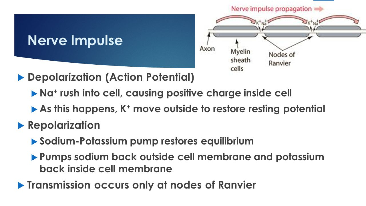 Nerve Impulse  Depolarization (Action Potential)  Na + rush into cell, causing positive charge inside cell  As this happens, K + move outside to restore resting potential  Repolarization  Sodium-Potassium pump restores equilibrium  Pumps sodium back outside cell membrane and potassium back inside cell membrane  Transmission occurs only at nodes of Ranvier 15