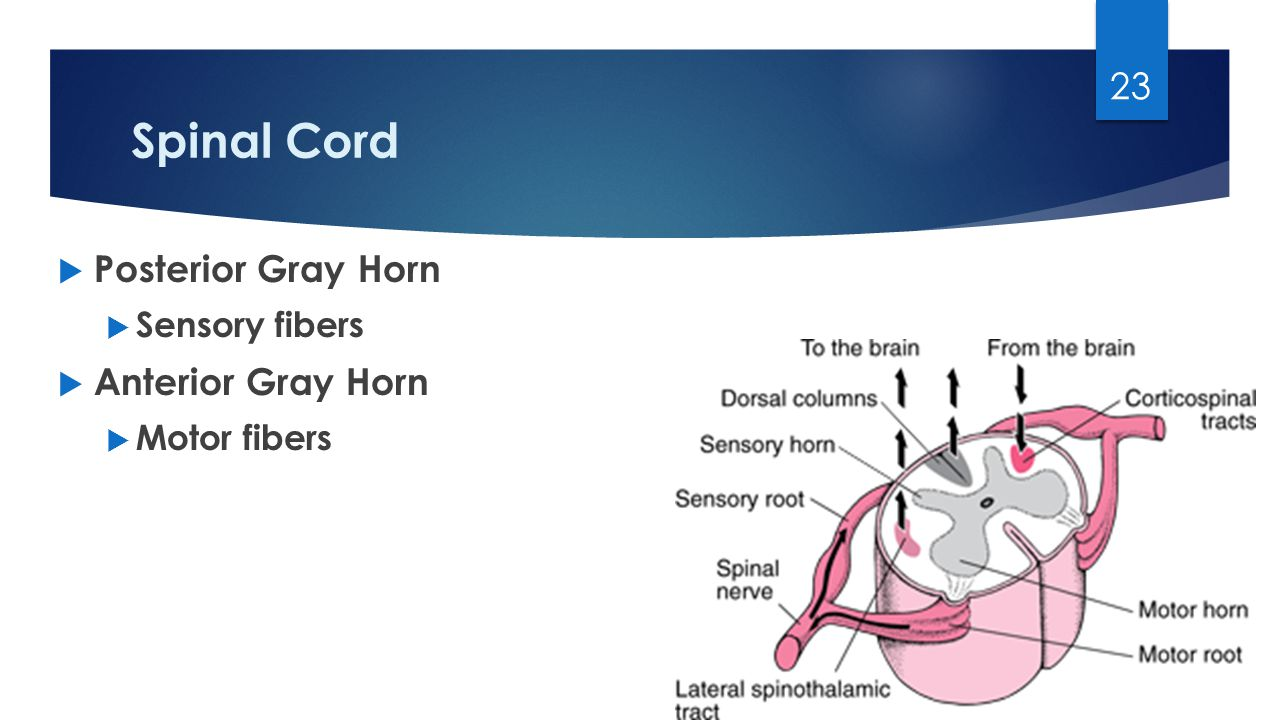 Spinal Cord  Posterior Gray Horn  Sensory fibers  Anterior Gray Horn  Motor fibers 23