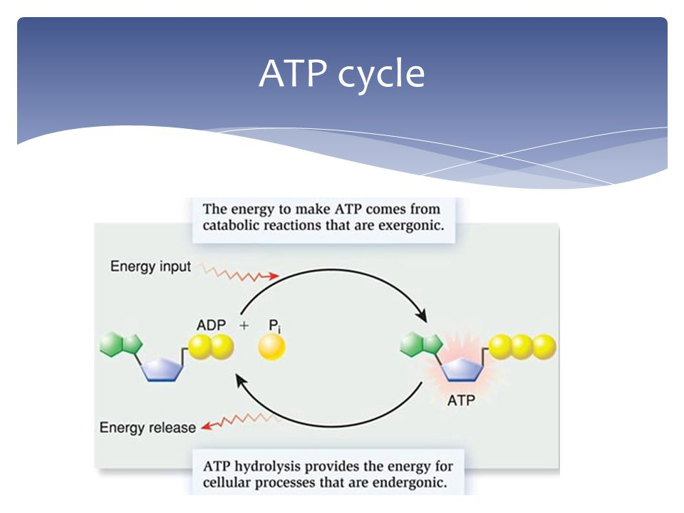 Respiration Release Of Energy From Food Dont Confuse It With