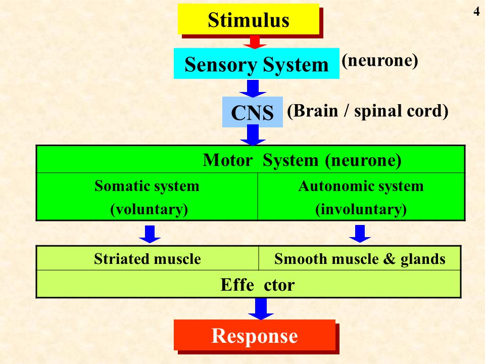 4 Stimulus Sensory System CNS MotorSystem (neurone) Somatic system (voluntary) Autonomic system (involuntary) Striated muscleSmooth muscle & glands Effector Response (Brain / spinal cord) (neurone)