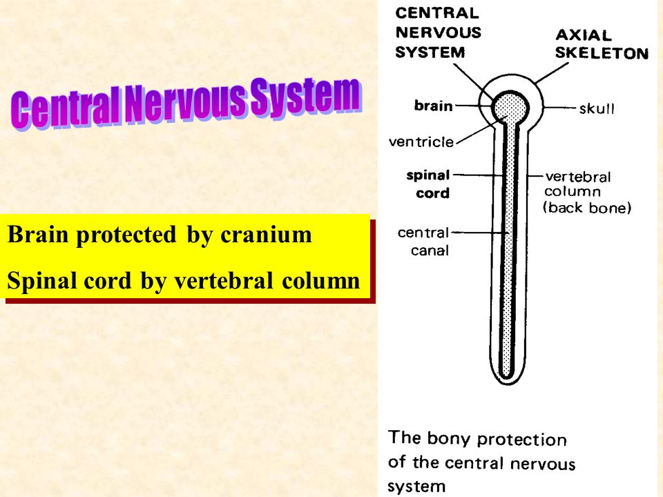 5 Brain protected by cranium Spinal cord by vertebral column Brain protected by cranium Spinal cord by vertebral column