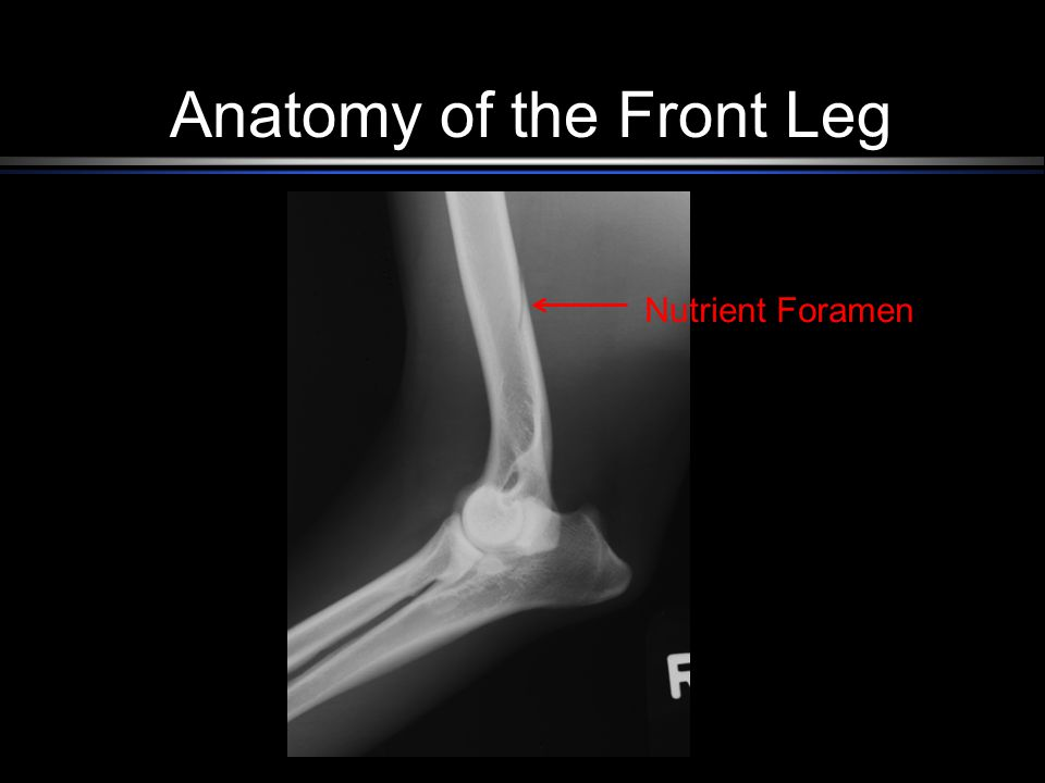 Anatomy of the Front Limb Small Animal. Anatomy of the Front Leg ...
