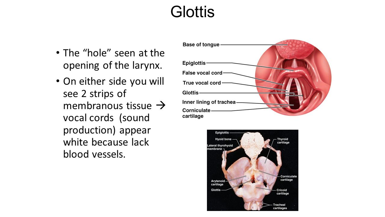 Glottis The hole seen at the opening of the larynx.