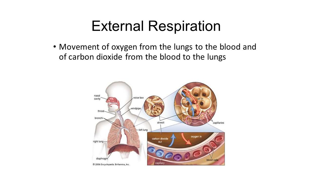 External Respiration Movement of oxygen from the lungs to the blood and of carbon dioxide from the blood to the lungs