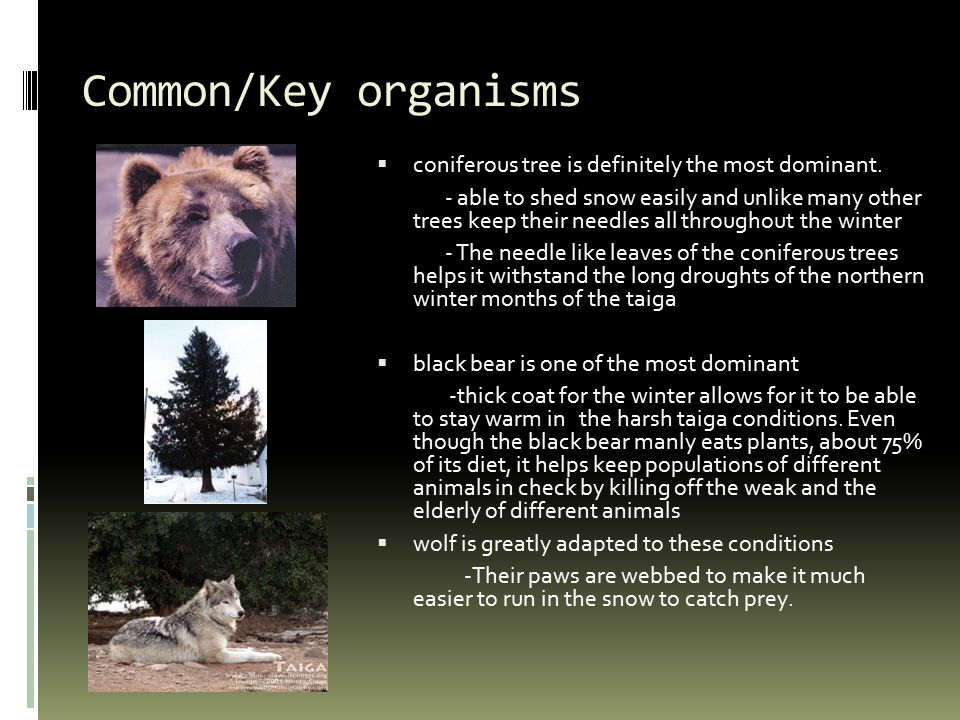 Common/Key organisms  coniferous tree is definitely the most dominant.