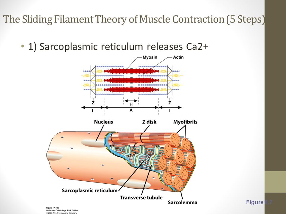 Muscle Contraction Microscopic Anatomy Of Skeletal Muscle Sarcomere