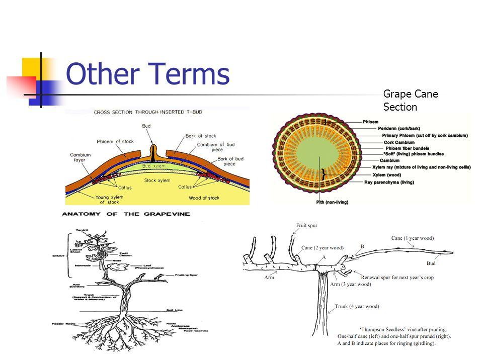 Plant Anatomy. Definitions Anatomy Study of form and basic ...