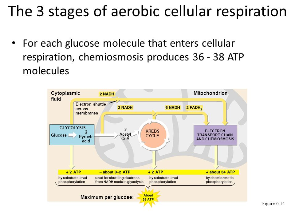 Cellular Respiration And The Mitochondrion Nearly All The Cells