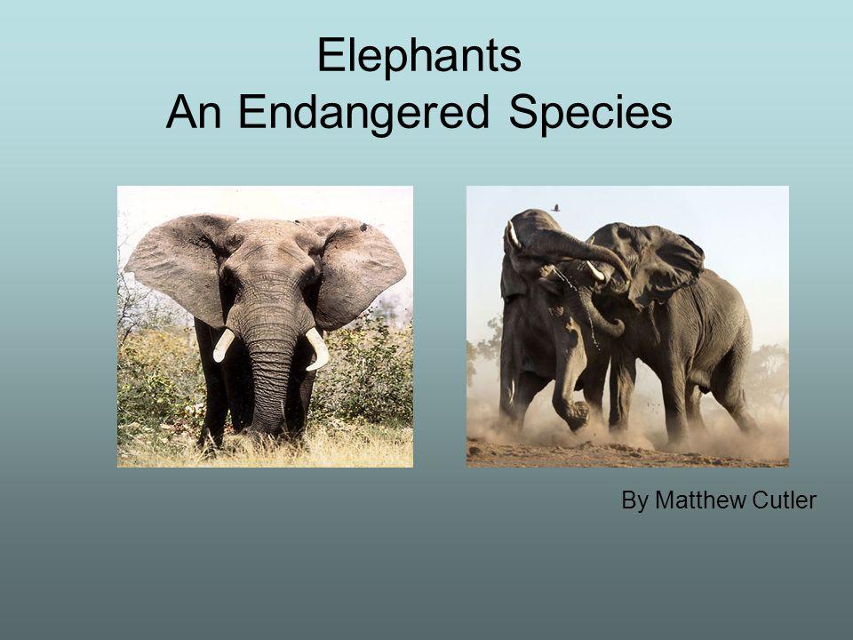 1 Elephants An Endangered Species By Matthew Cutler