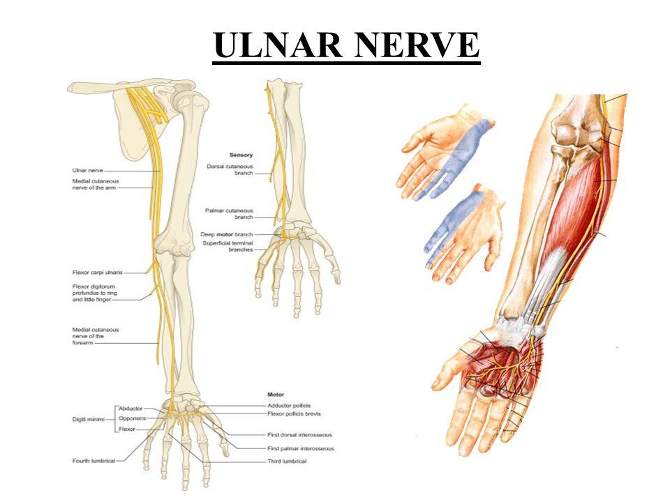 Ulnar Nerve Palsy Norton University Surgical Semiology Ass Prof