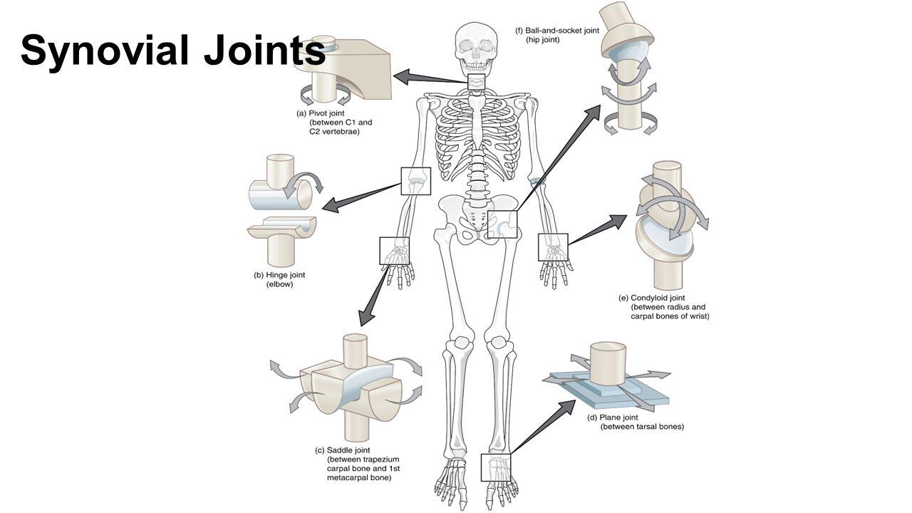 Amazing Saddle Joint Inspiration Human Anatomy Images