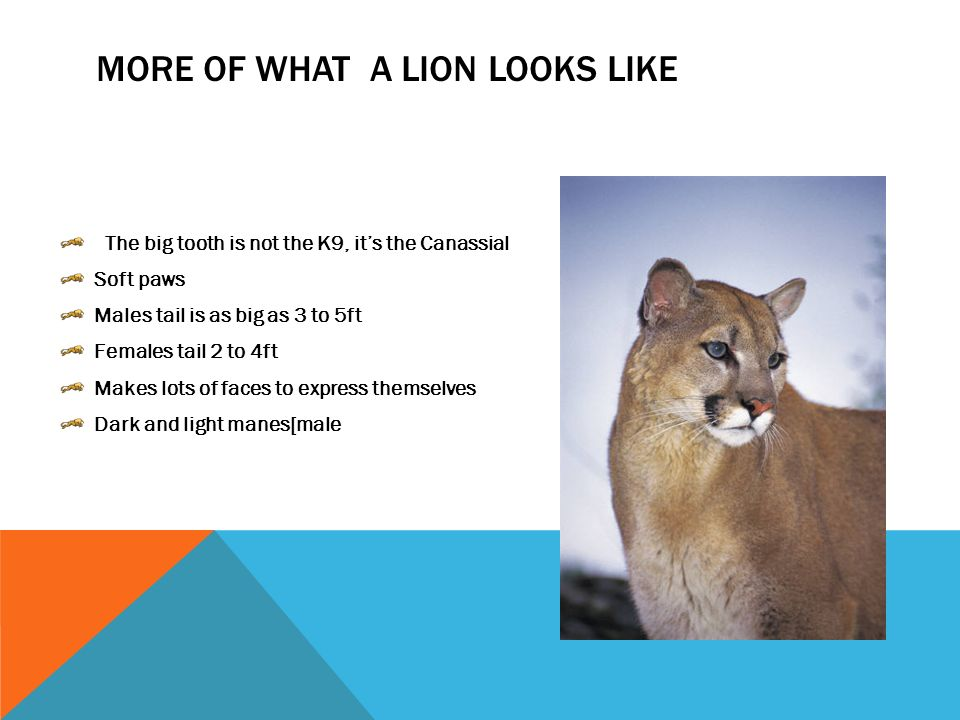 LION PREDATOR OF THE GRASSLAND Dominic S   INTRODUCTION