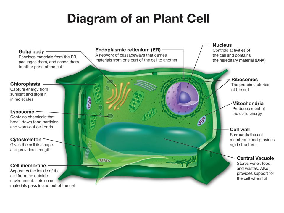 Cell Biology. Cell Biology Chapter Seven: Cell Structure and ...