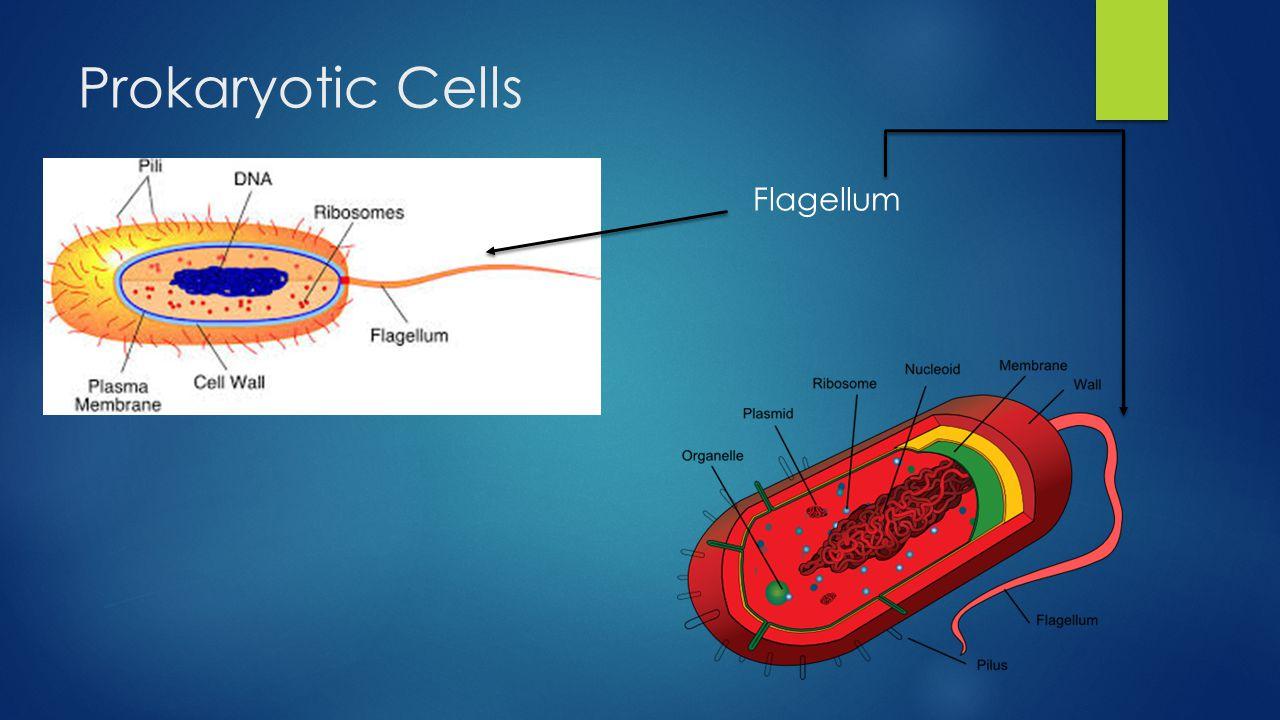 Flagellum Cilium Aj Scielzo Prokaryotic Flagella Long Fimbriae Cell Edition 4 Cells